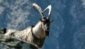 Wildlife Safaris in Armenia-Feel the Bezoars Kingdom